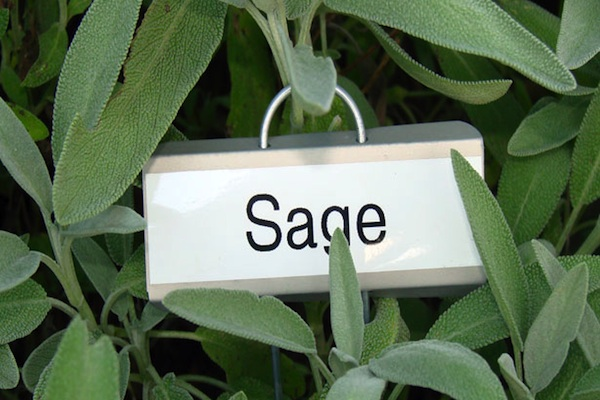 Sage For Breast Cancer Gardening Therapy